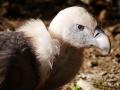 Geier Zoo Mulhouse