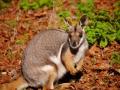 Känguru Zoo Mulhouse