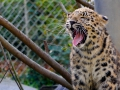 Leopard Zoo Mulhouse